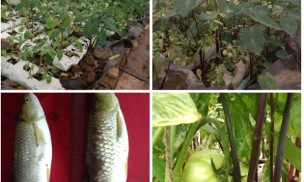 Aquaponics trial update ………..
