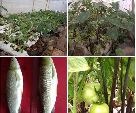 Aquaponics trial update …………