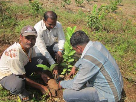 Grafting training to Pabal farmer….!