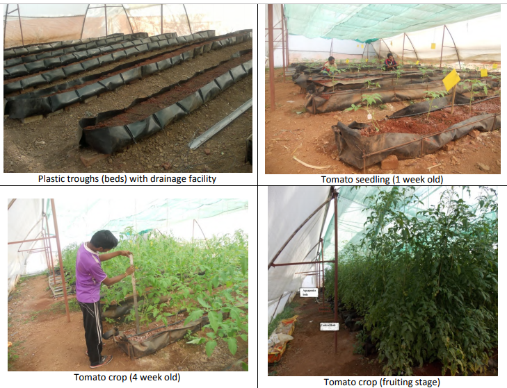 Study on effect of aquaponics farming technique on greenhouse (polyhouse) planted tomatoes……